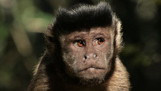 tufted-capuchin-monkey