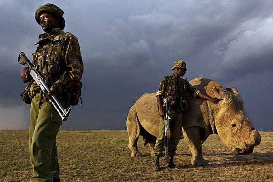 sudan-white-rhino